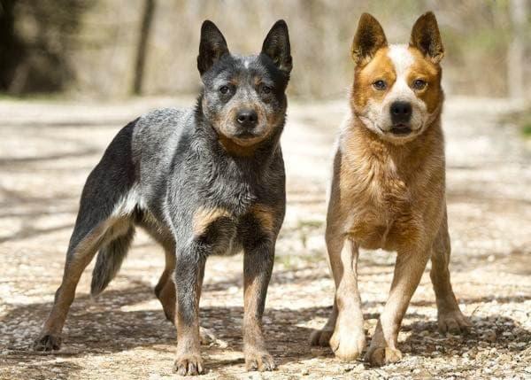 Хилер - порода собак