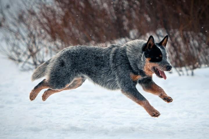 Австралийская пастушья собака в прыжке