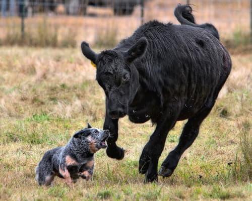Голубой хилер и бык