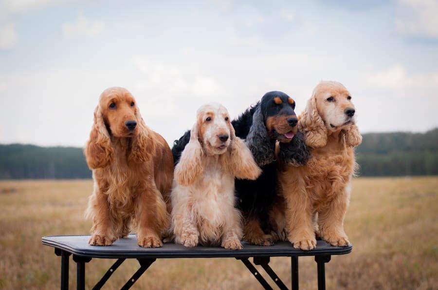 Групповое фото собак породы Английский кокер-спаниель