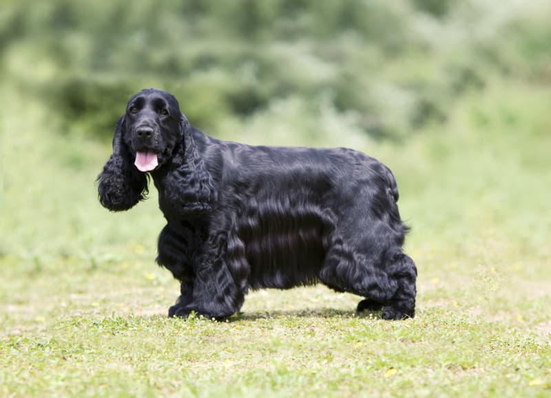 Собака Английский кокер-спаниель