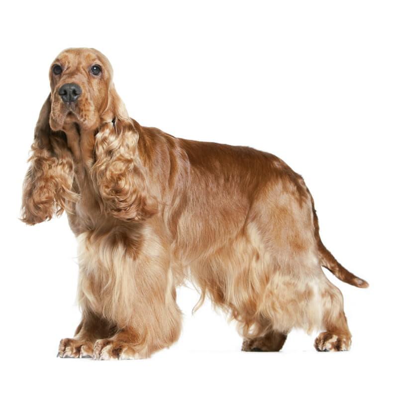 Порода собаки Английский кокер-спаниель