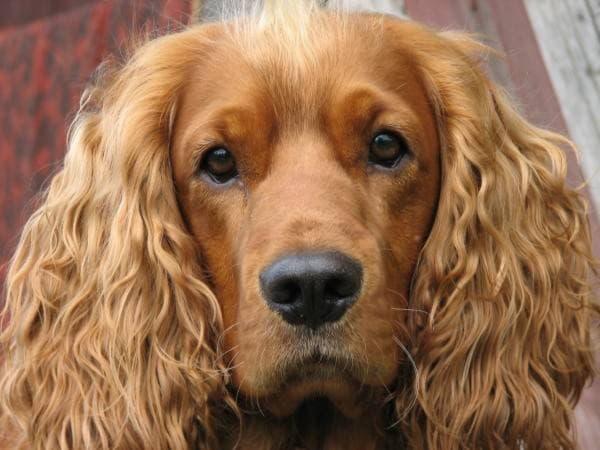 Морда собаки породы Английский кокер-спаниель