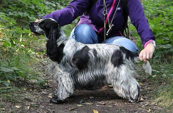 Внешний вид собаки породы Английский кокер-спаниель