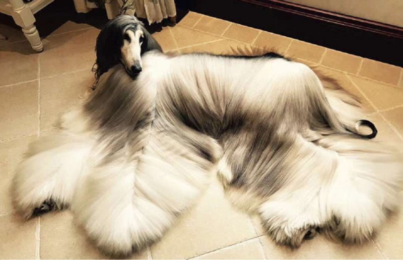 Собака породы Афганская борзая