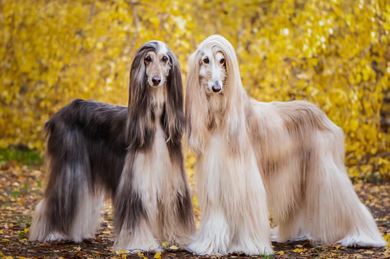 На фото две собаки породы Афганская борзая