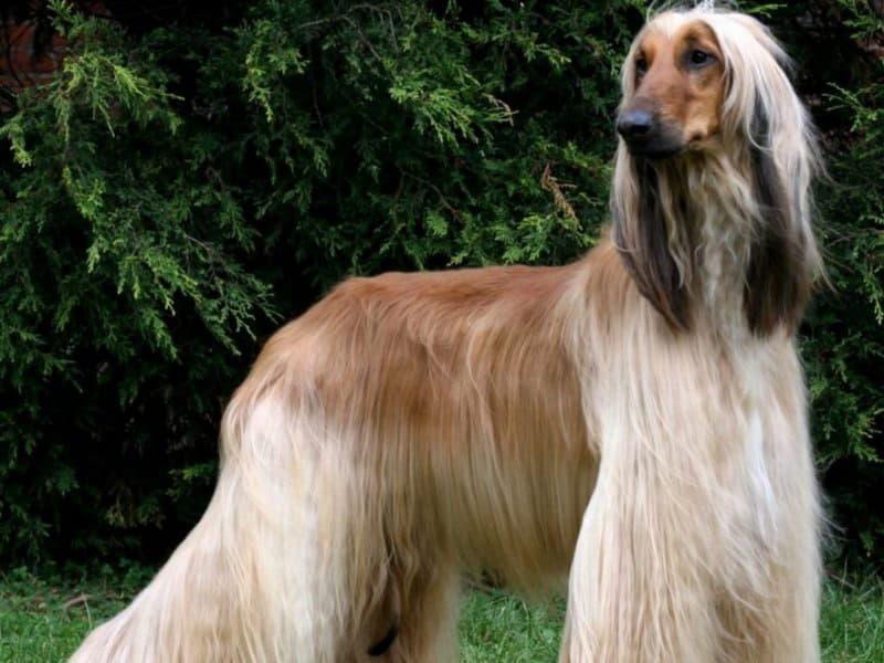Внешний вид собаки породы Афганская борзая