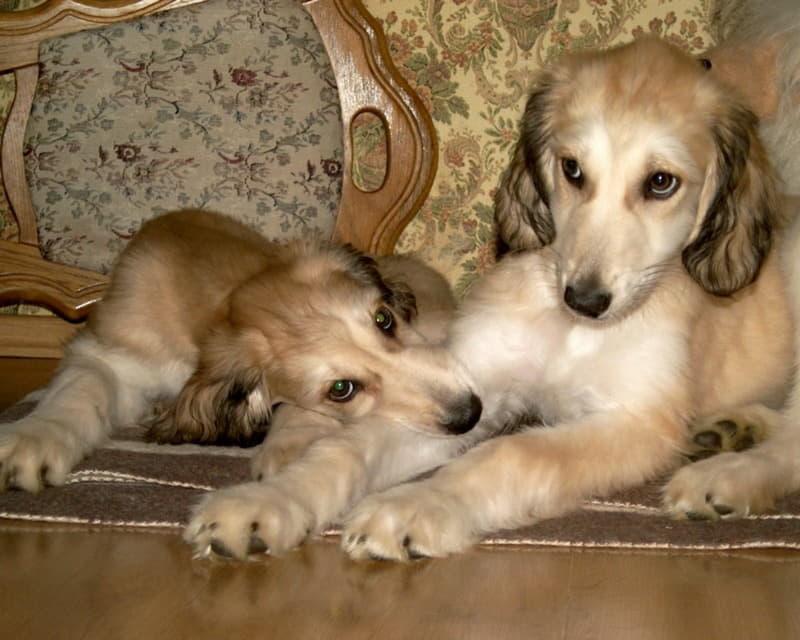 Два щенка породы Афганская борзая