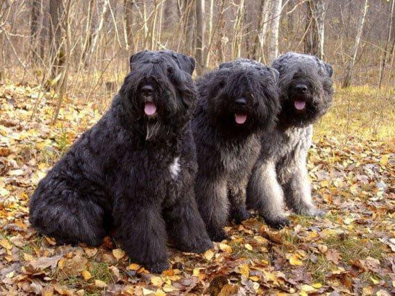 Три собаки породы Фландрский бувье