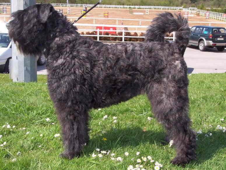 На фотографии собака породы Фландрский бувье