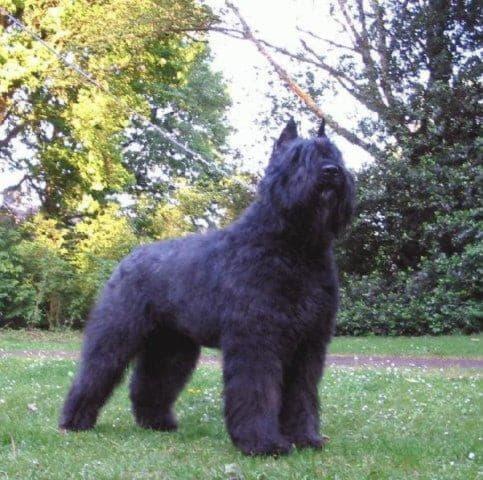 Внешний вид собаки породы Фландрский бувье