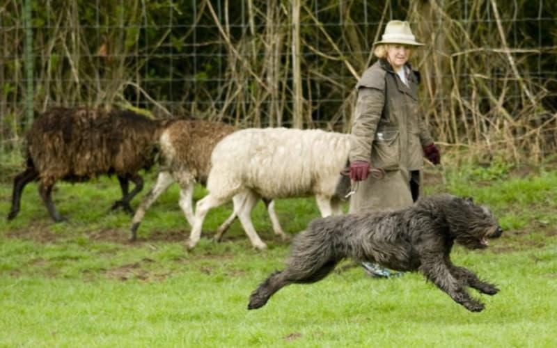На фотографии изображена собака породы Фландрский бувье