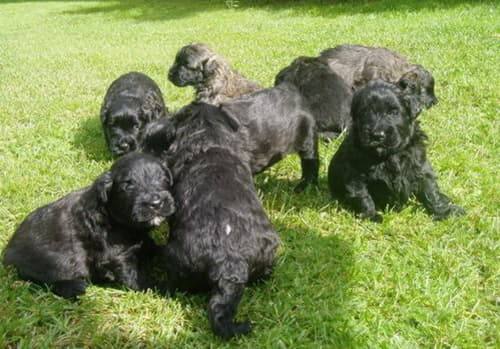 Щенки собаки породы Фландрский бувье