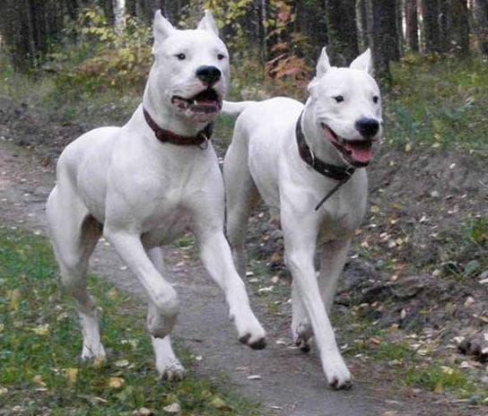 Две собаки породы Аргентинский дог