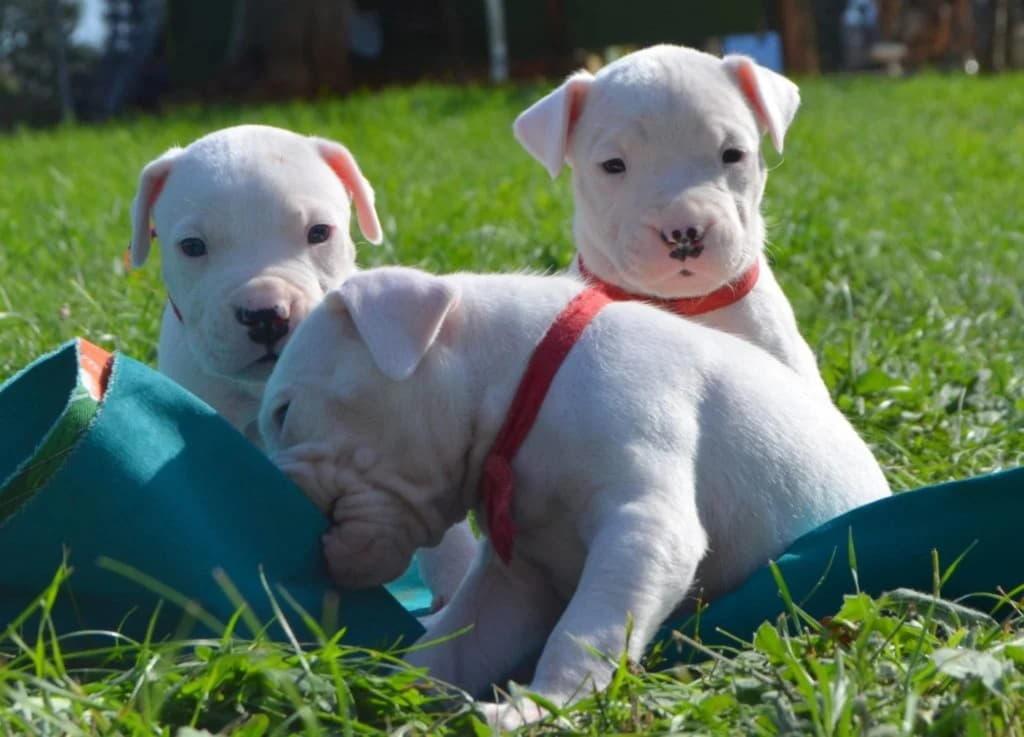 Три щенка породы Аргентинский дог
