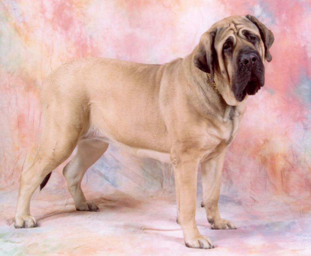 Собака породы Английский мастиф