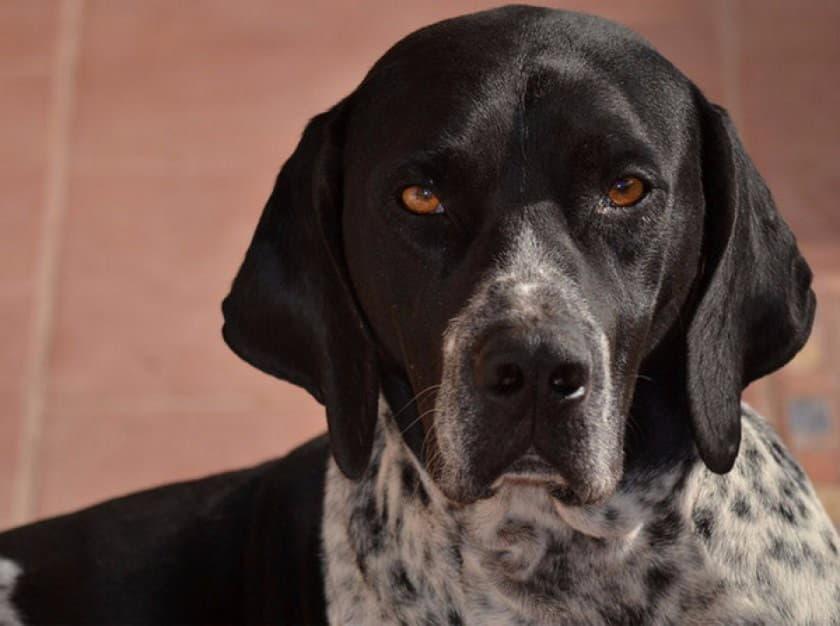 Морда собаки породы Английский пойнтер
