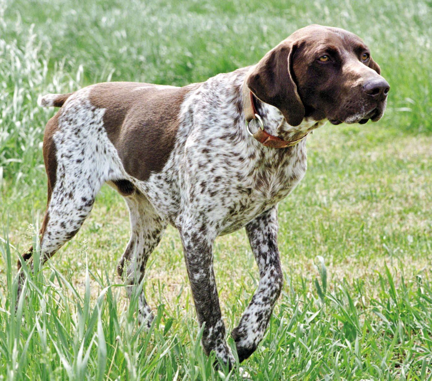 Собака породы Английский пойнтер