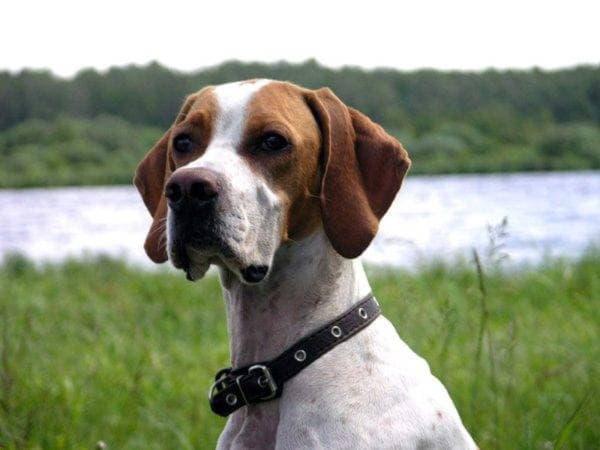 Голова собаки породы Английский пойнтер