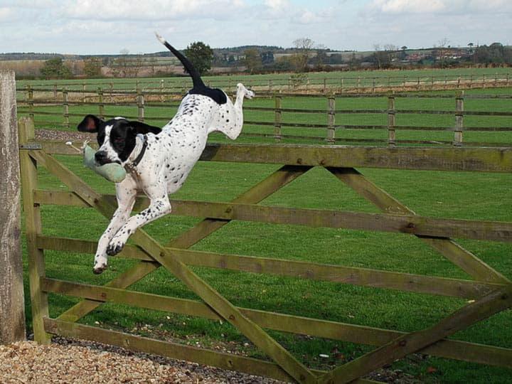 Английский пойнтер перепрыгивает через забор
