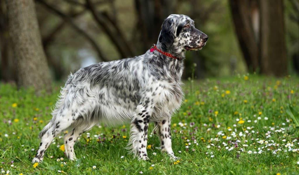Порода собаки Английский сеттер