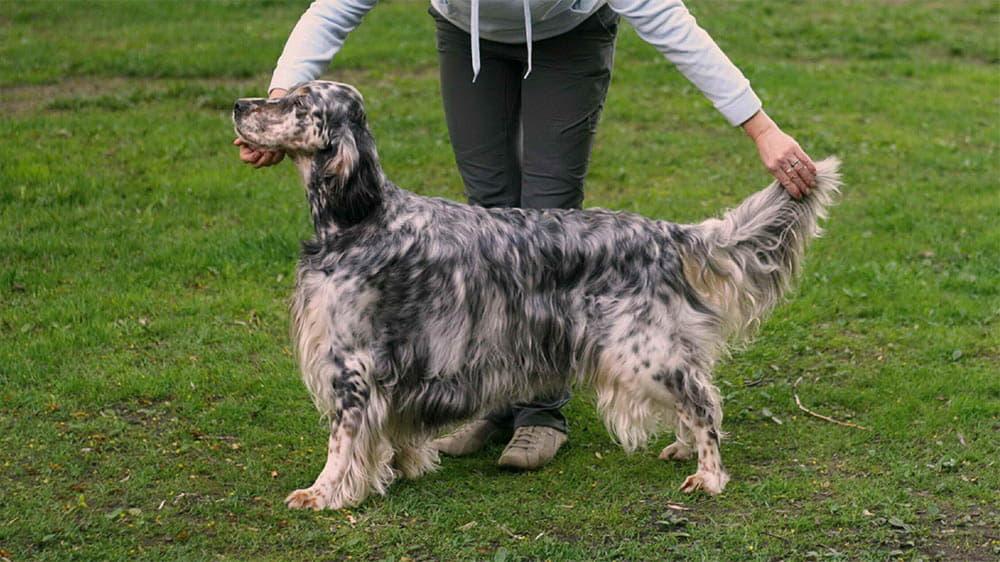 Внешний вид собаки породы Английский сеттер