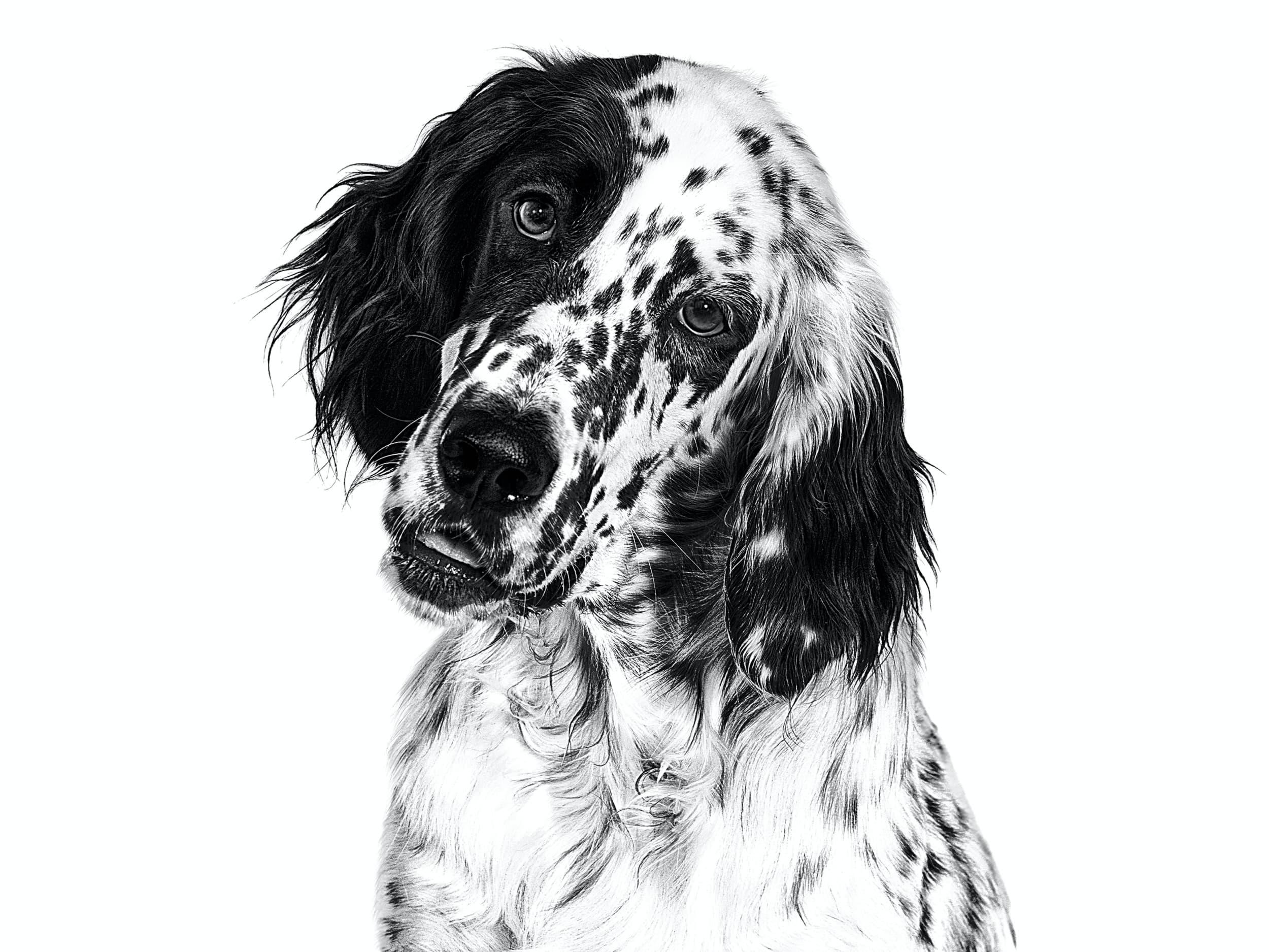 Фото собаки породы Английский сеттер