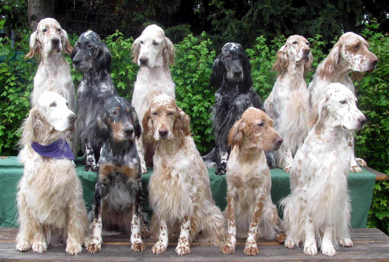 Групповое фото собак породы Английский сеттер