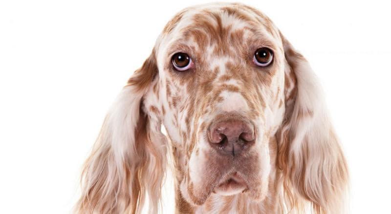 Голова собаки породы Английский сеттер