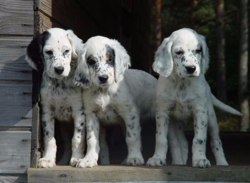 Щенки собаки породы Английский сеттер