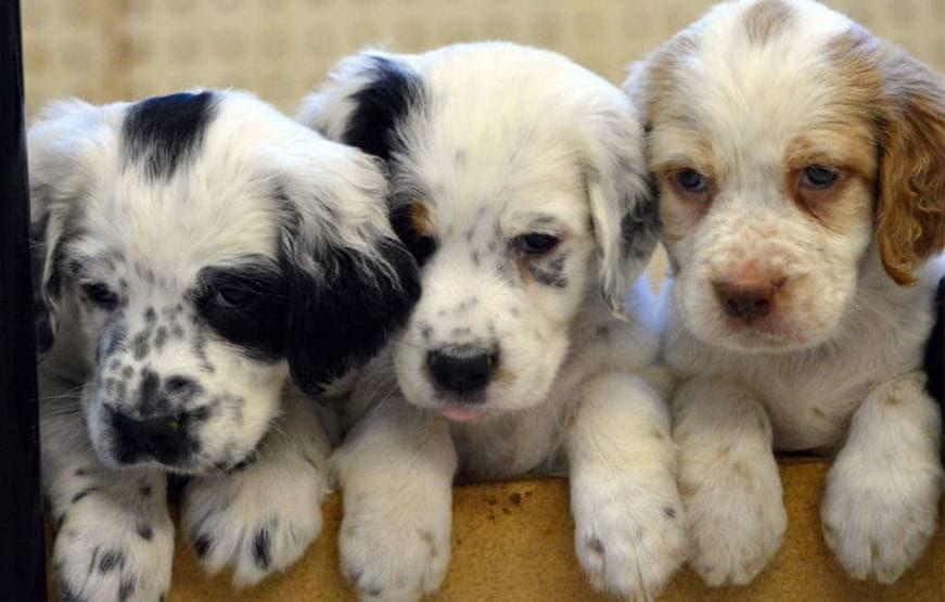 Три щенка породы Английский сеттер