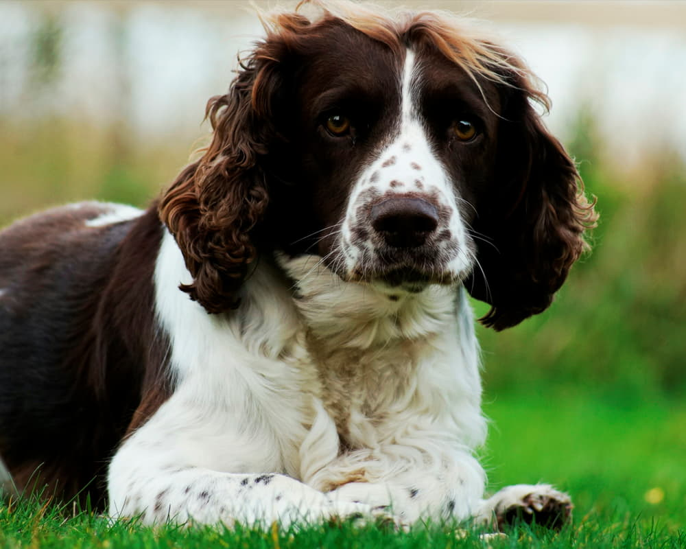 Собака Английский спрингер-спаниель