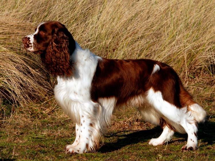 Порода собаки Английский спрингер-спаниель