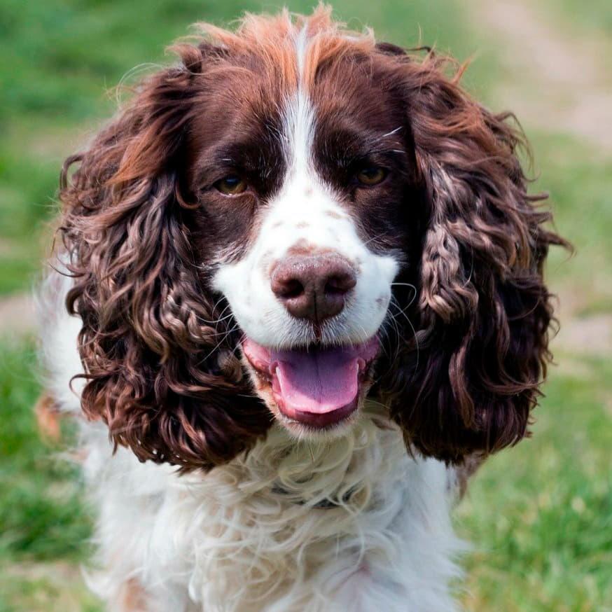 Внешний вид собаки Английский спрингер-спаниель