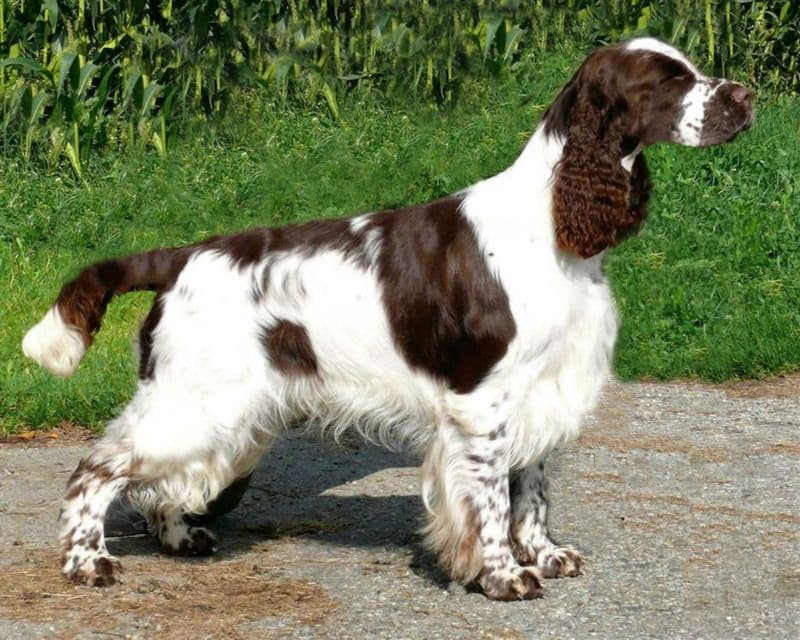 Внешний вид собаки породы Английский спрингер-спаниель