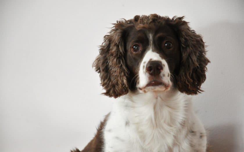 Фотография собаки породы Английский спрингер-спаниель