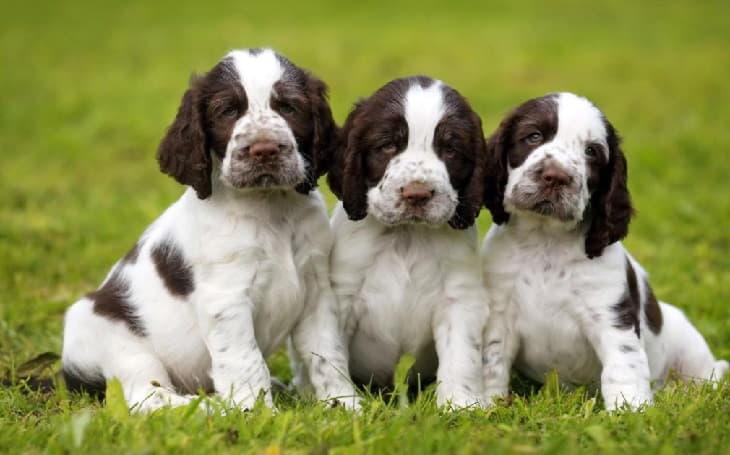 Три щенка породы Английский спрингер-спаниель