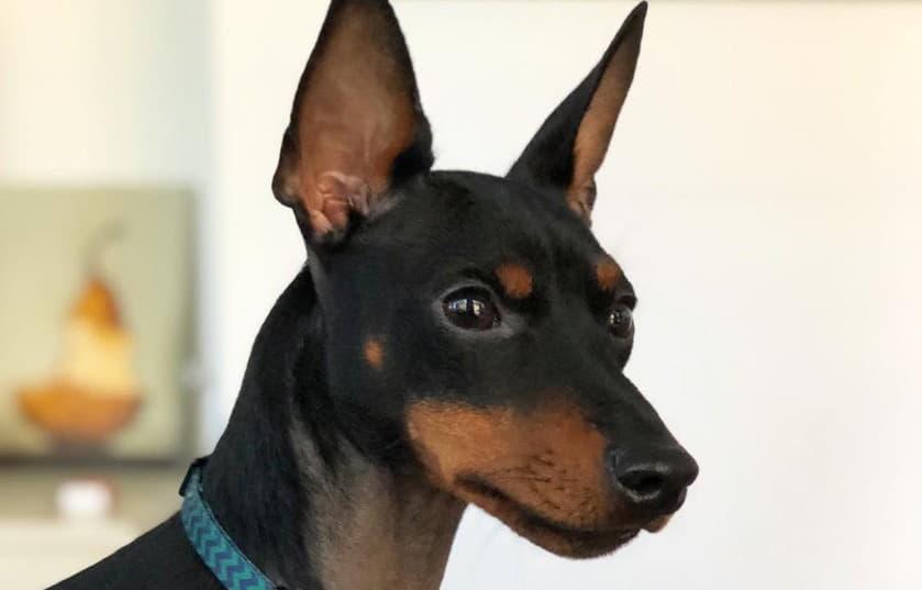 Голова собаки породы Английский той-терьер