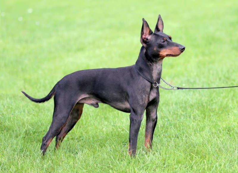 Собака породы Английский той-терьер