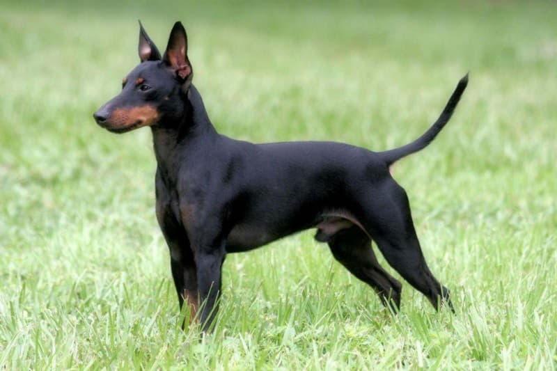 Внешний вид собаки породы Английский той-терьер