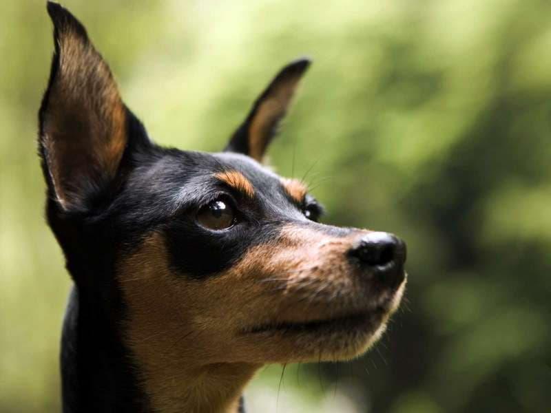 Мордочка собаки породы Английский той-терьер