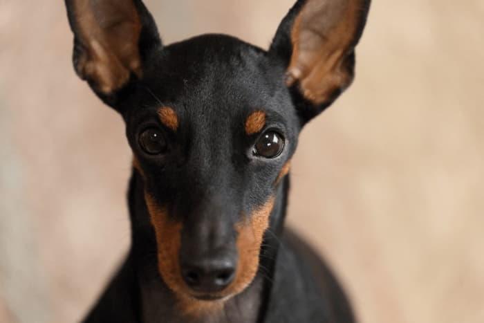 Морда собаки породы Английский той-терьер