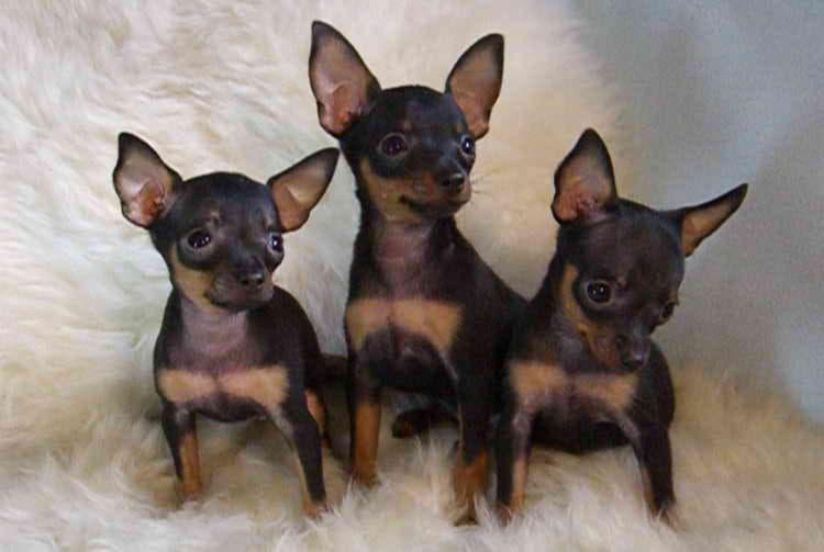 Три щенка породы Английский той-терьер