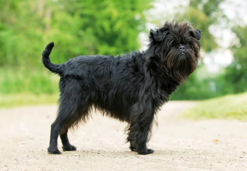 Внешний вид собаки аффенпинчер