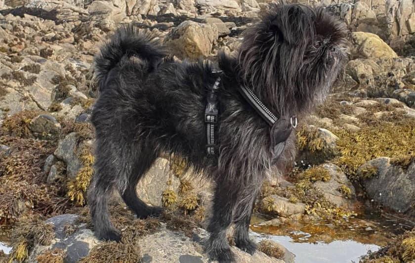 Аффенпинчер - внешний вид собаки