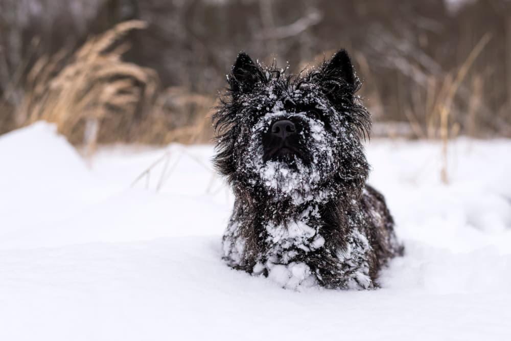 Аффенпинчер в снегу