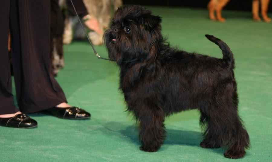 Фотография собаки породы Аффенпинчер на выстовке
