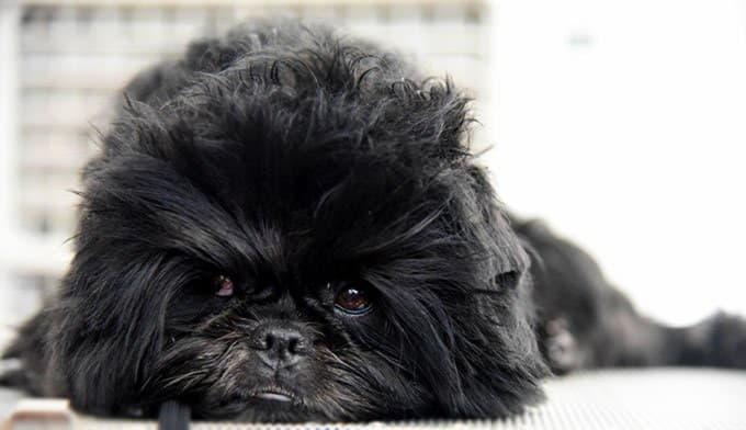 Расчесанная собака породы Аффенпинчер