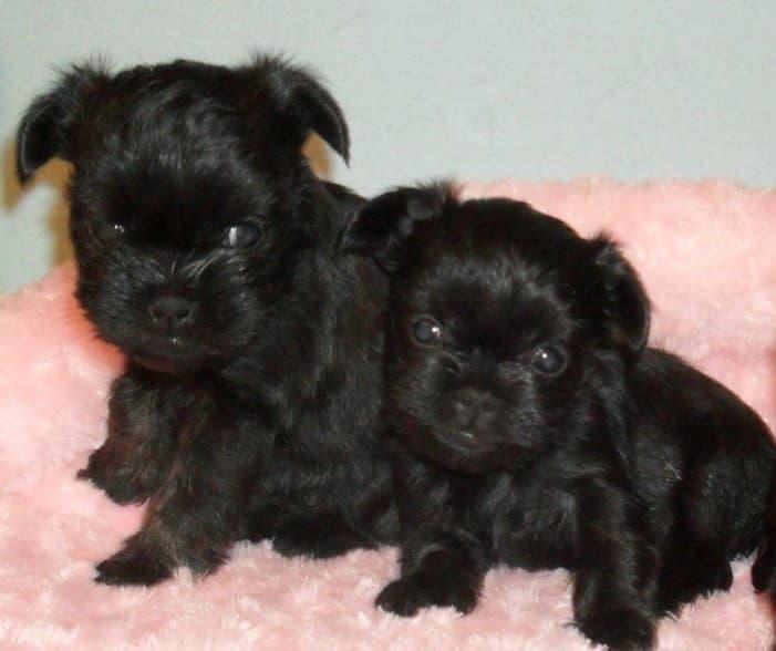 Два щенка породы Аффенпинчер
