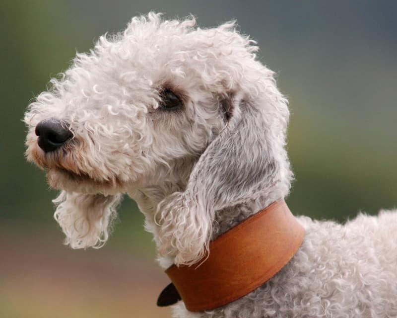Голова собаки породы Бедлингтон-терьер
